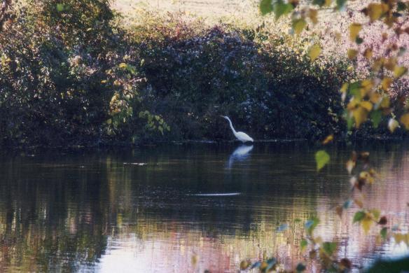great egret visiting pond