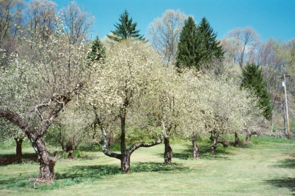 Old orchard in spring