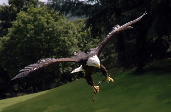 Bald_eagle_warwick2