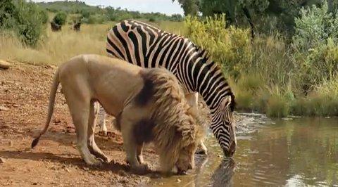 Lion-Zebra-water-hole