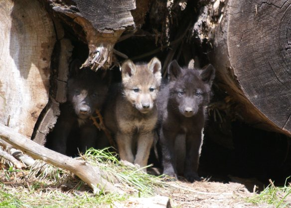 Wolf Cubs, photo credit ©ODFW (from Defenders of Wildlife)