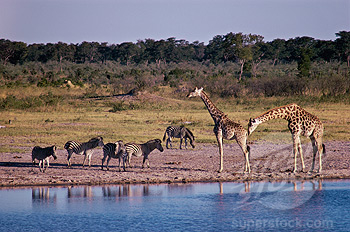 Giraffes and Zebras at Water Hole, Africa
