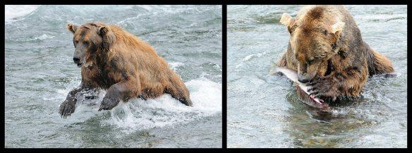 Alaska Brown Bears; Lunchtime