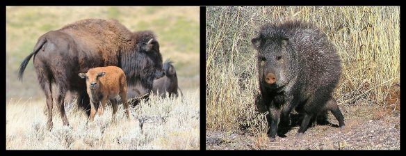Bison (Wyoming)   Javelina (Arizona)