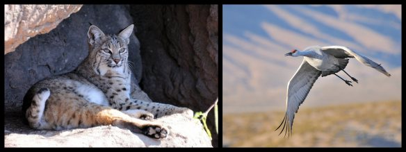 Arizona Bobcat New Mexico Sandhill Crane