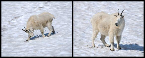 Rocky Mtn. Goats; Glacier National Park, Montana