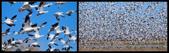 Sandhill Cranes, Socorro New Mexico