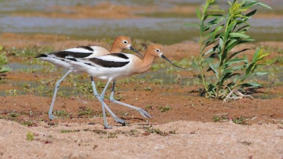 Avocets, Mating Pair; Gilbert AZ, March 2013; Photo by Denny Green