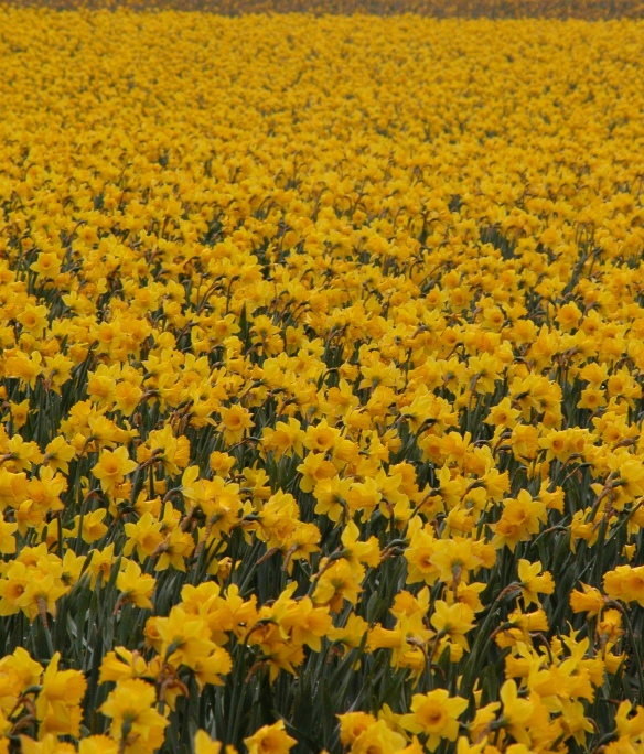 Daffodil_field_in_Northern_Washington