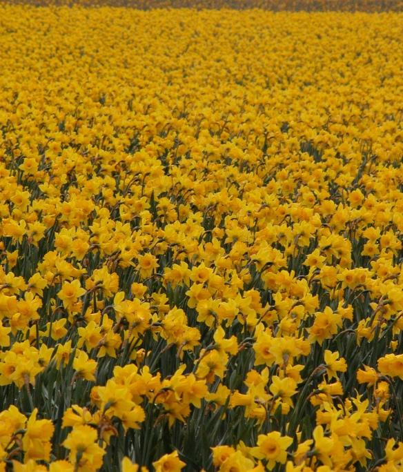 Daffodil_field_in_Northern_Washington