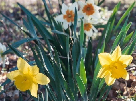Daffodils in sunlight (photo by Jane E. Schneider)