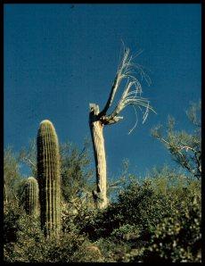 Praying Saguaro