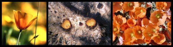 Mexican Poppy -- Golden Barrel Cactus -- Globe Mallow