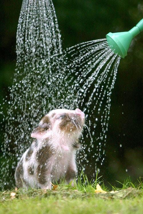 piglet enjoying shower
