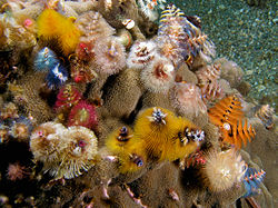 Assorted Christmas Tree Worms (photo courtesy of Wikipedia)