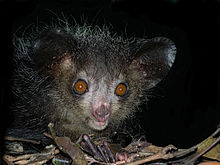Aye-Aye foraging at night (photo courtesy of Wikipedia)
