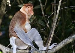 Proboscis Monkey (photo courtesy of Wikipedia)