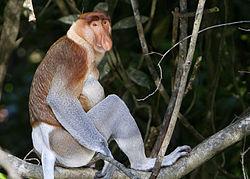 Proboscis Monkey (photo courtesy of Wikipedia)
