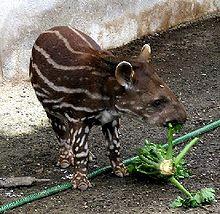 Baby Brazilian Tapir (photo courtesy of Wikipedia)