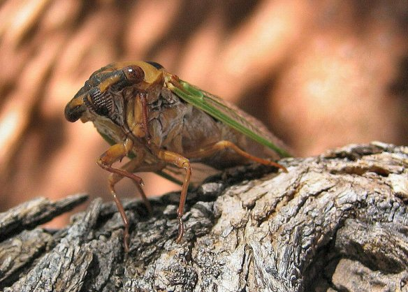 1018-Cicada-0537