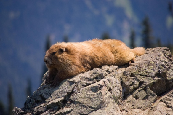 "Washington's official ""State Endemic Mammal"", the Olympic Marmot"