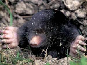 """Walker"" Mole, The Zoo's underground reporter."
