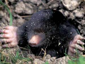 Walker Mole, The Zoo's deep underground reporter.