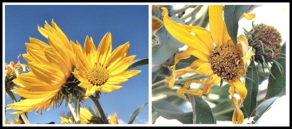 Sunflowers, 2013