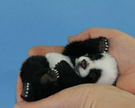 Baby Panda (not my photo)