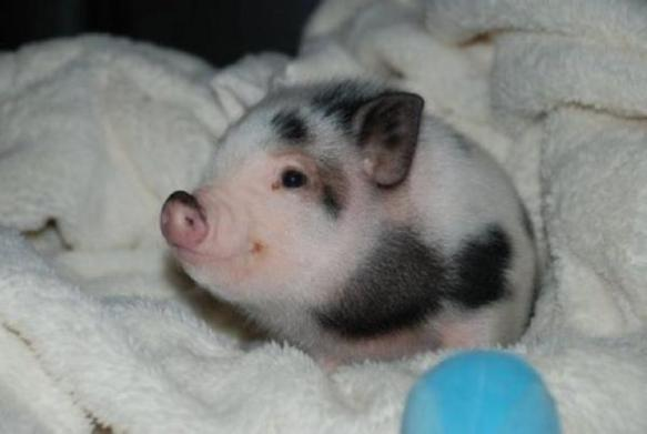 piglet in a blanket