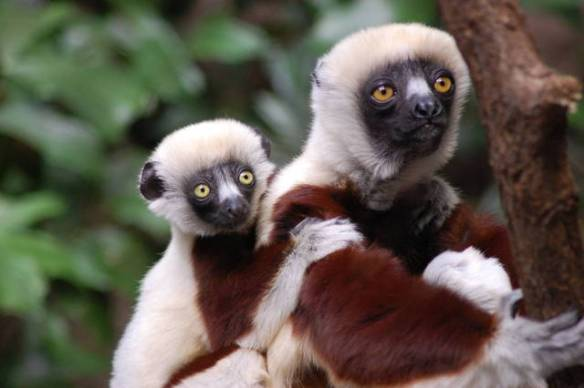 Coquerels sifaka (from the Bronx Zoo Gallery)