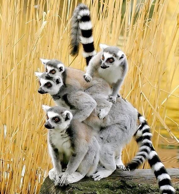More Lemurs (Is it me, or does the one on the bottom of the pile have an opposable thumb?)