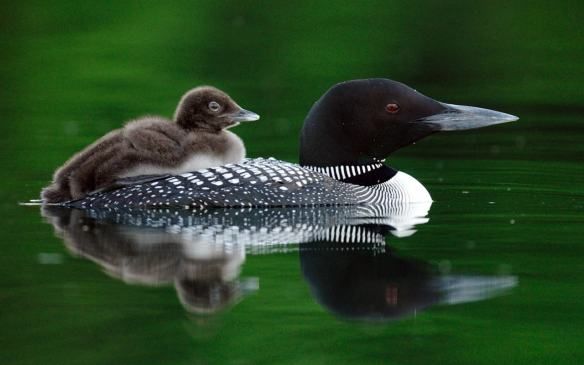 Loon mom and downy chick