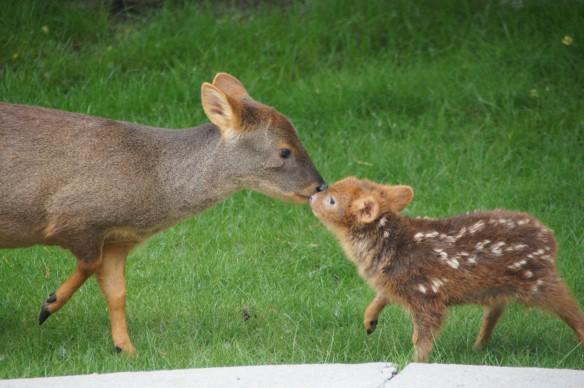 Pudu deer and fawn (world's smallest deer)