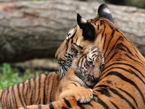 tiger-mom and baby