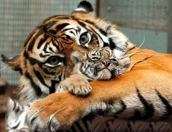 tiger mom cuddling cub