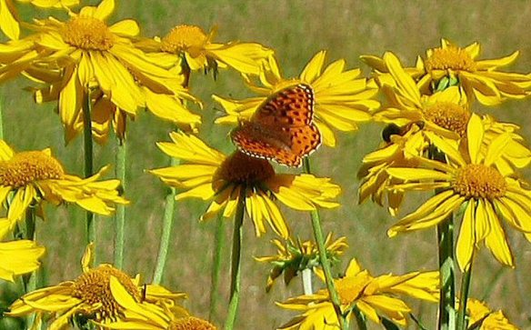 0718-Butterfly and shadow on sunflowers