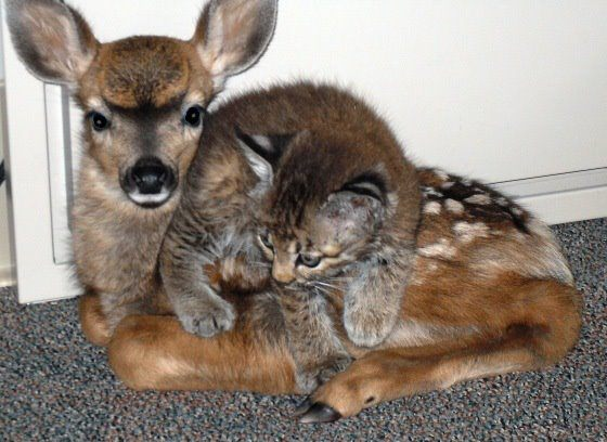 fawn and bobcat kitten