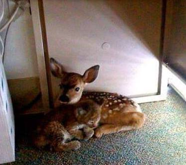 Rescued Fawn and Bobcat kitten