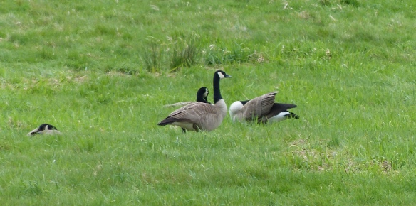 Canada Geese having a rest on their journey home.