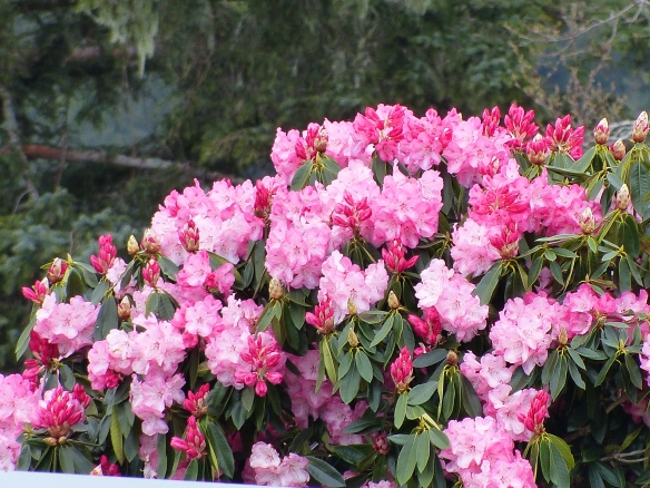 Stunning pink rhododendrons.