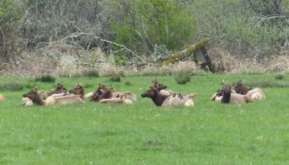 More Roosevelt Elk having a lie down.