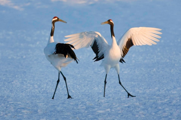 Japanese Red-Crowned Cranes