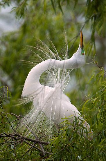 Great Egret aka Great White Heron