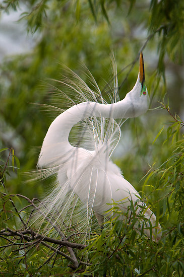 Great Egret aka Great White Heron