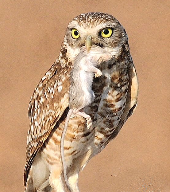 DG Burrowing Owl
