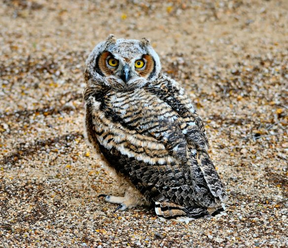 Owl 2014