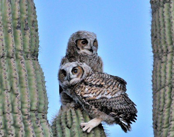Owl chicks 2014