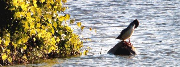 Water bird; Cormorant?