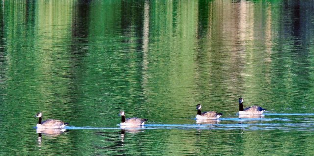 Geese 161
